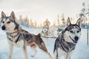 Glasiglus Finnland, Kakslauttanen, Husky-Safari