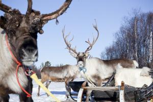 Glasiglus Finnland, Rentiere, Kakslauttanen