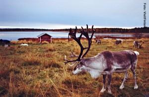 Lappland_Rentier