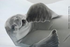 Antarktis Robbe