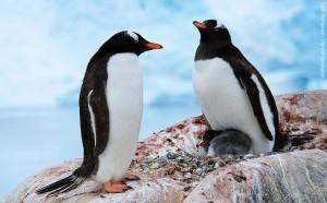 Antarktisreise Pinguine