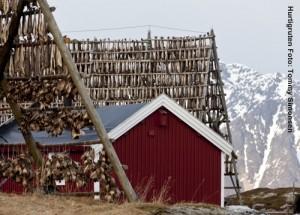 Norwegen_Lofoten_Stockfisch