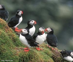 Island-Papageientaucher