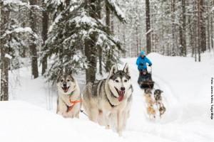 Huskysafari Finnland Karelien