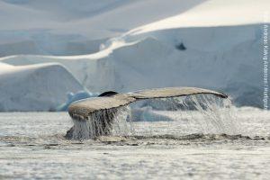 Antarktis-Kreuzfahrt-Wale