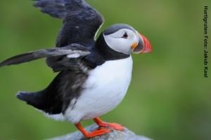 Hurtigruten Landausflüge Vogelsafari Papageientaucher
